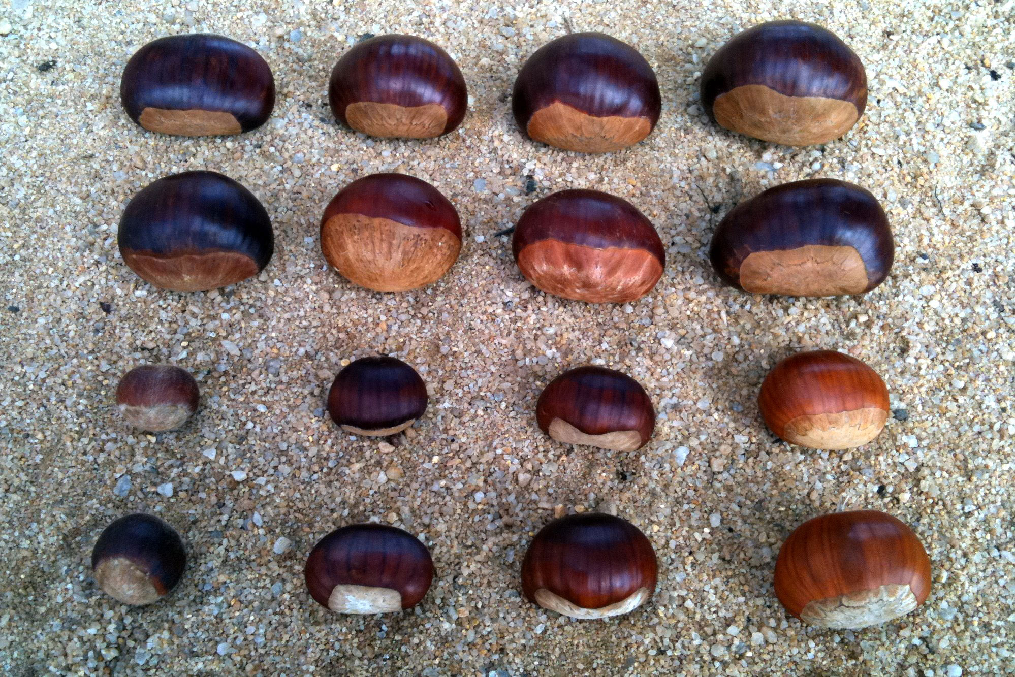 Various chestnuts size comparison