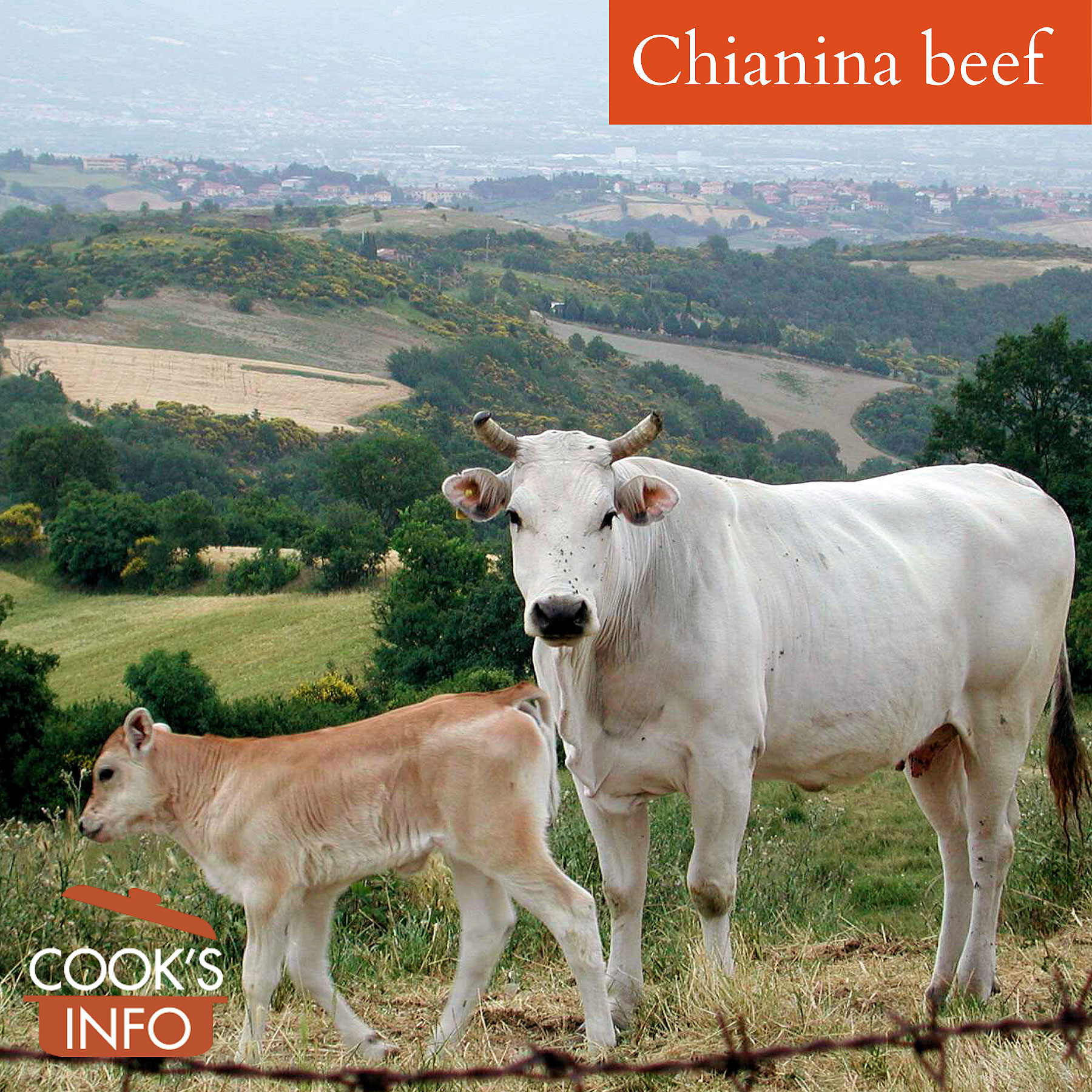 Chianina cow and her calf, Tuscany