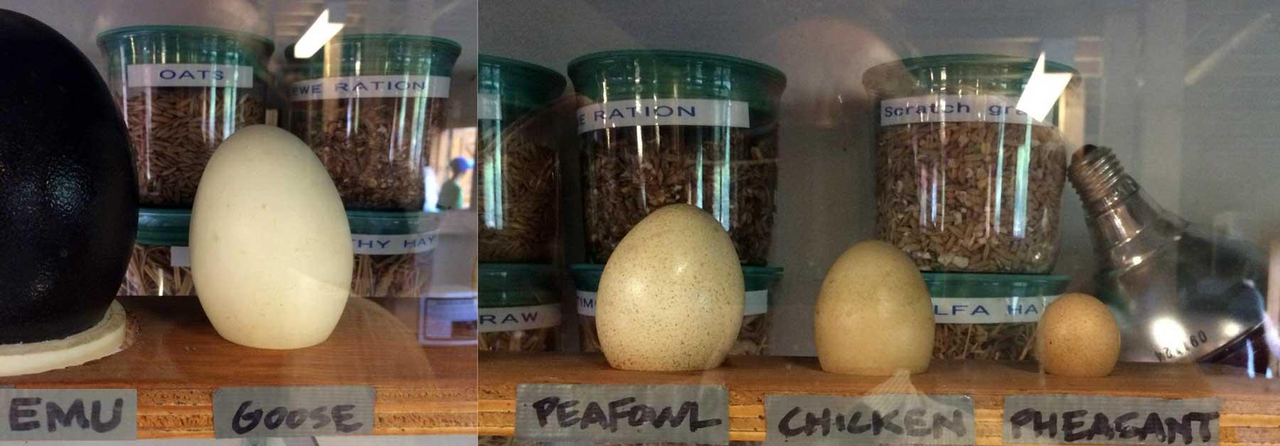 Size comparison of different eggs