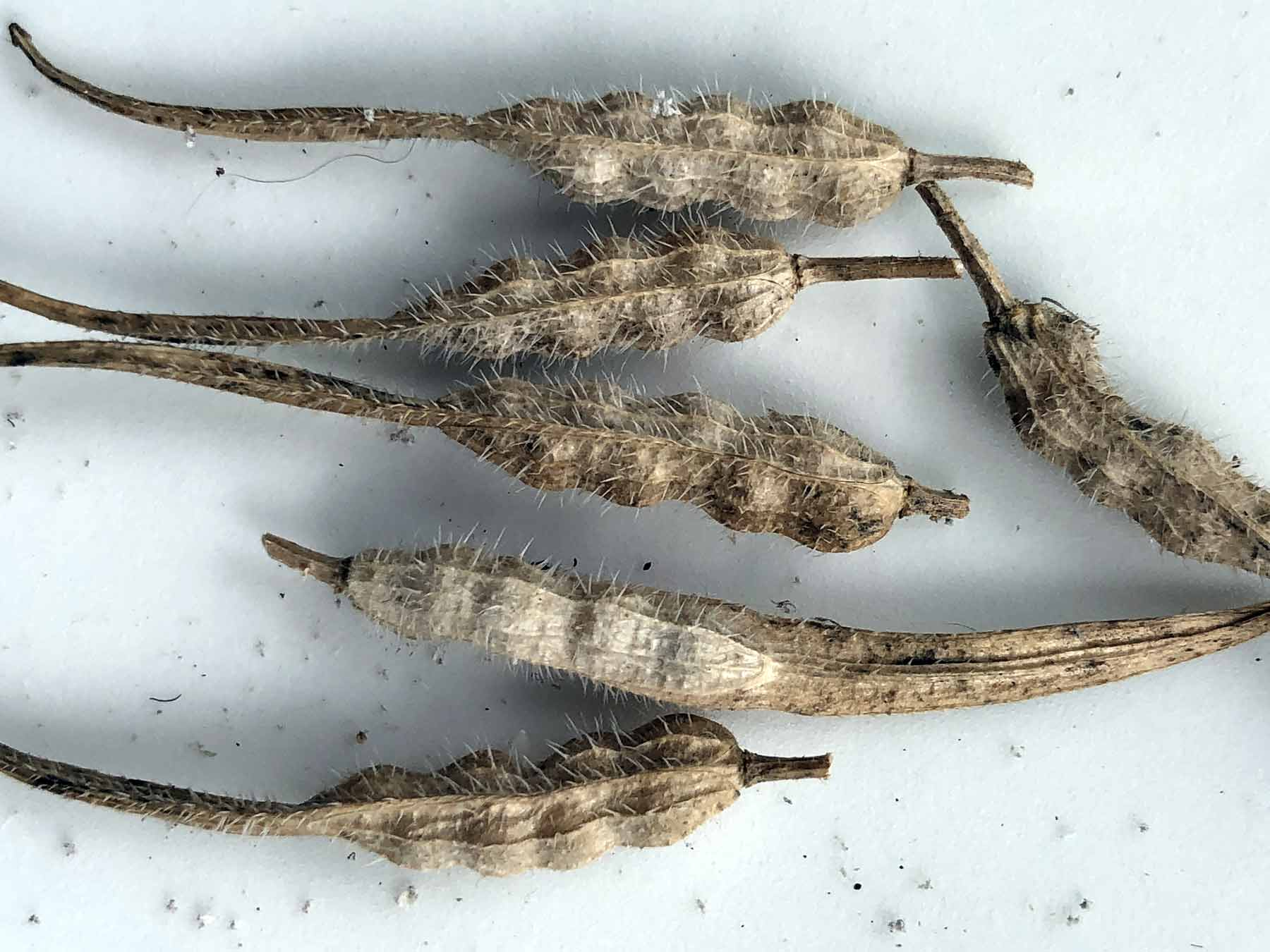 Dried mustard seed pods