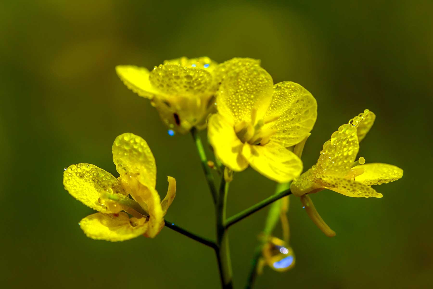 Mustard plant blossom