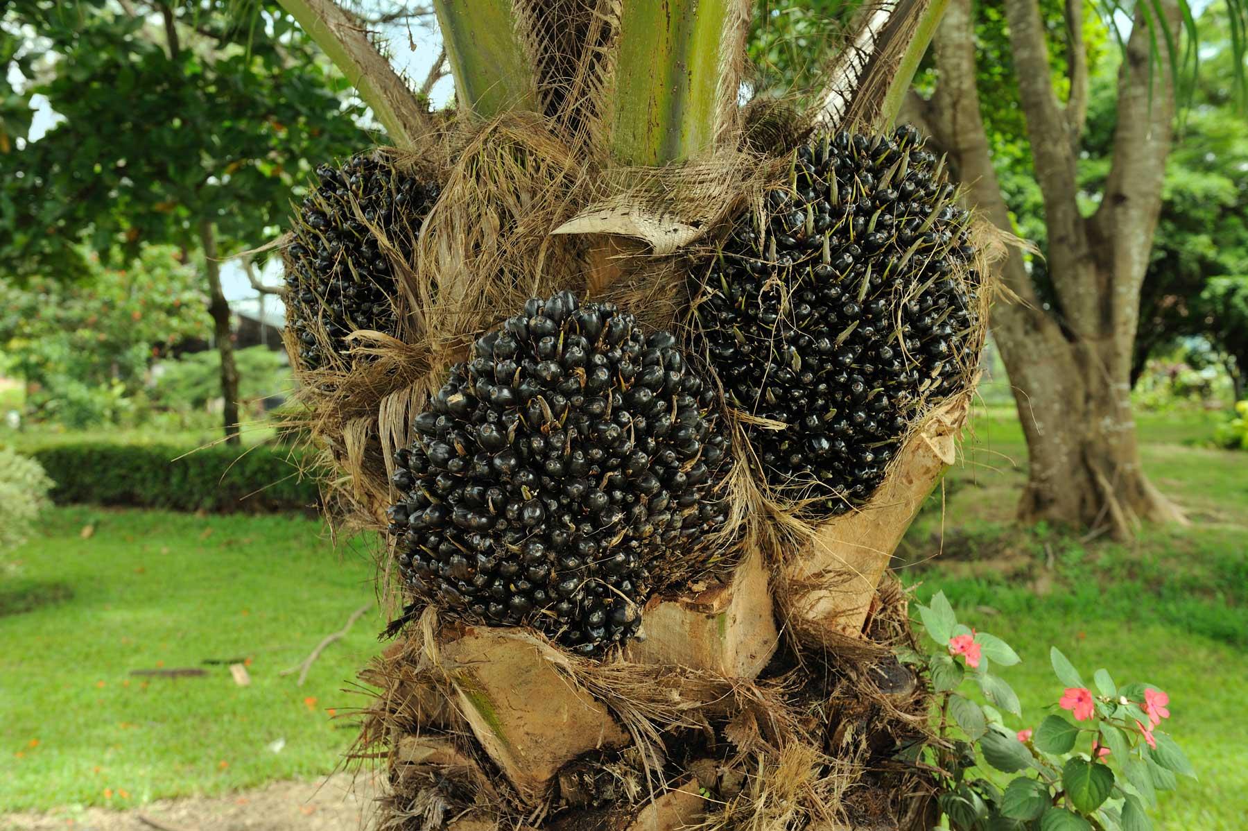 Unripe oil palm fruit clusters on tree