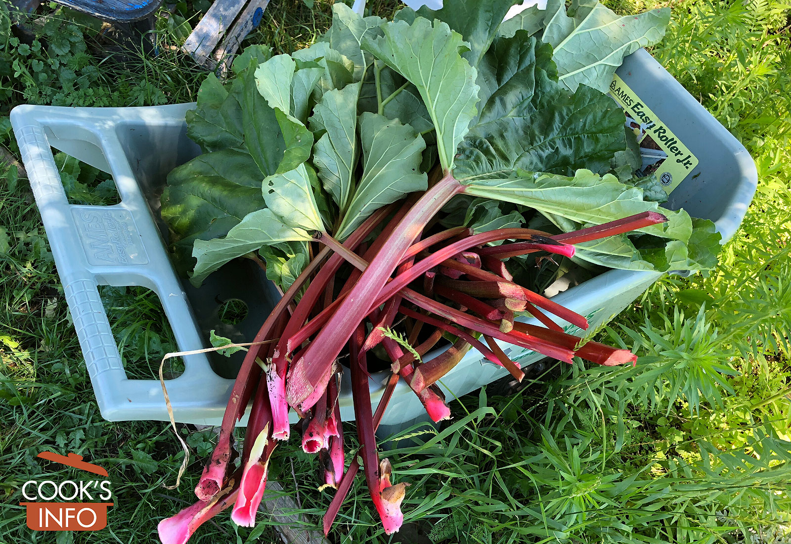 Harvested rhubarb in garden cart