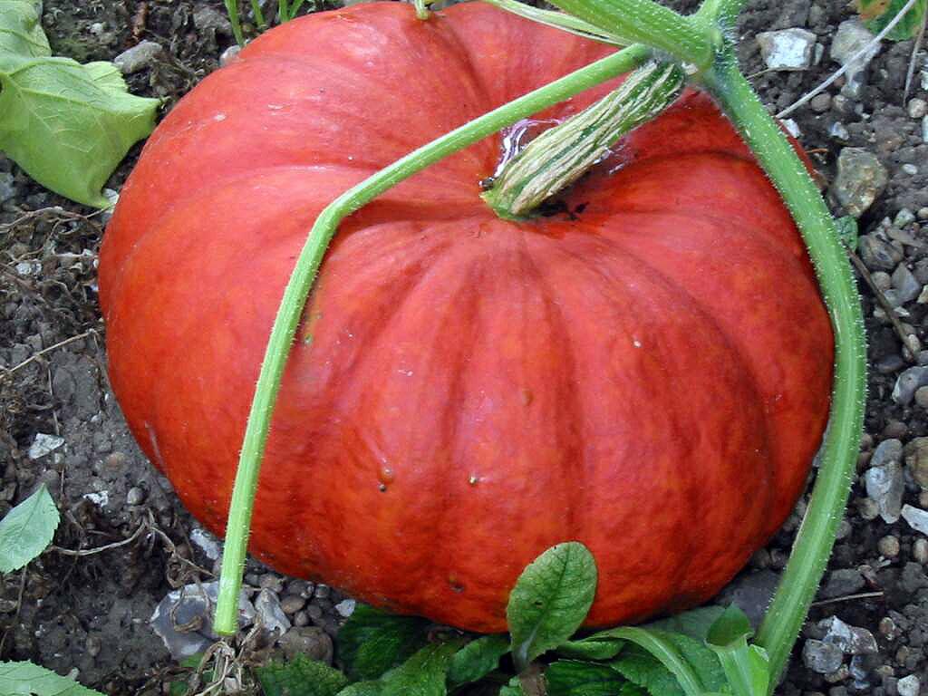 Cinderella Pumpkin on vine