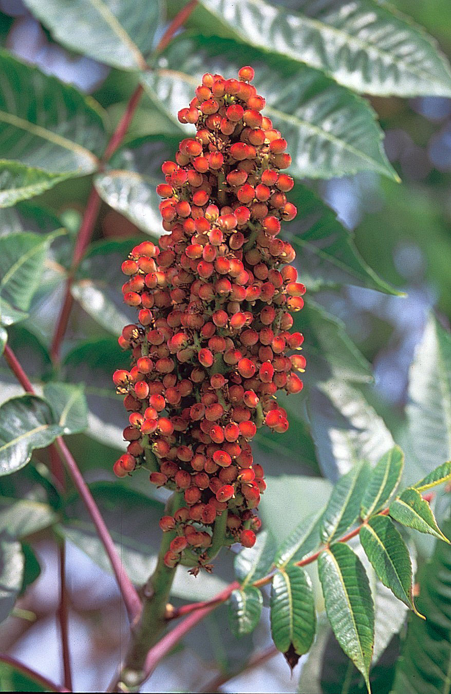 Smooth sumac berries