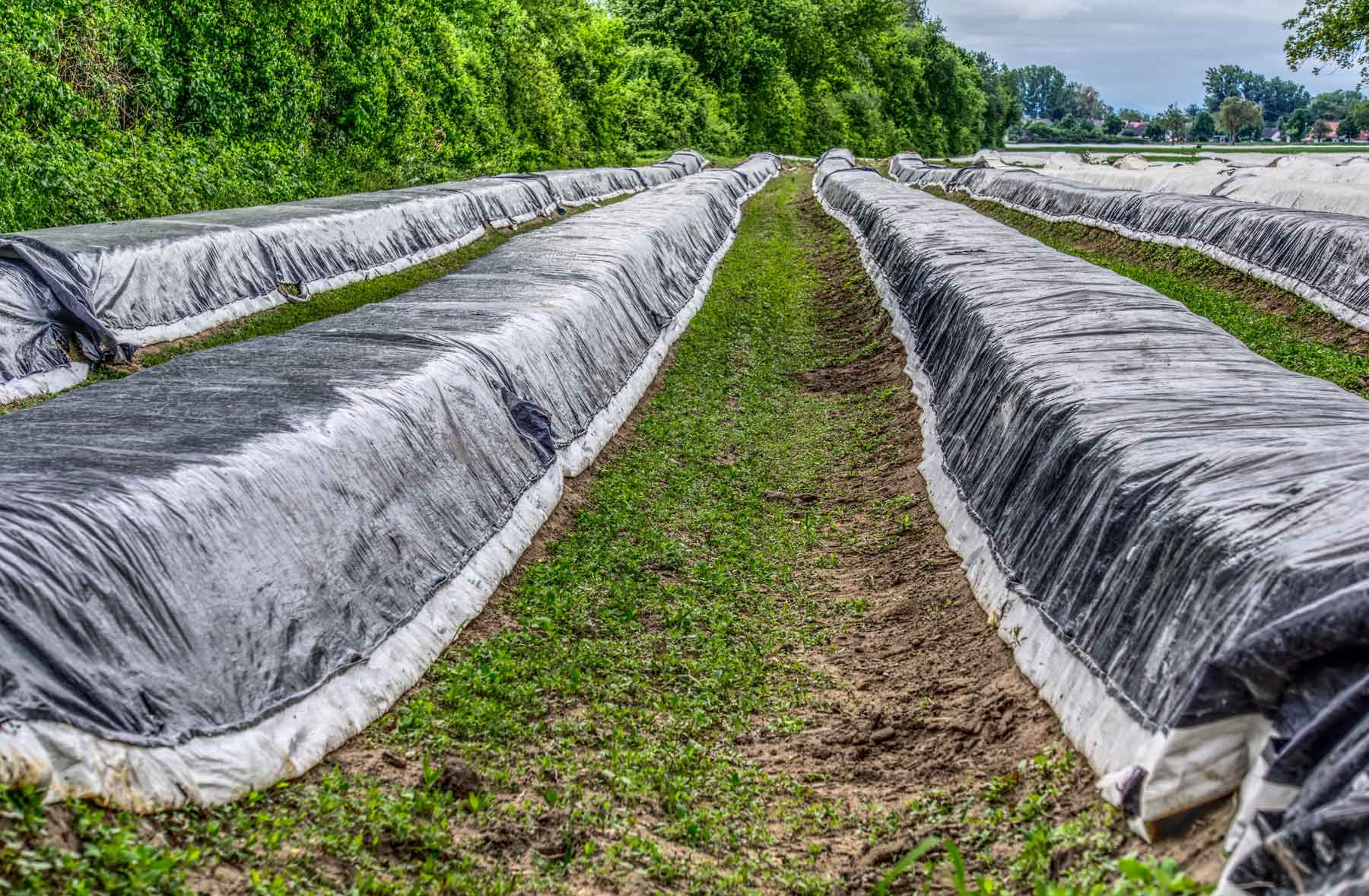 Asparagus being blanched in the field