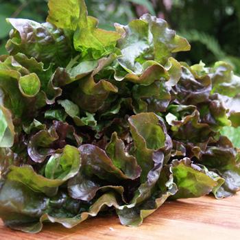 Batavia Red Lettuce