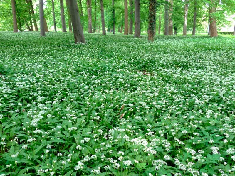 Field of wild garlic