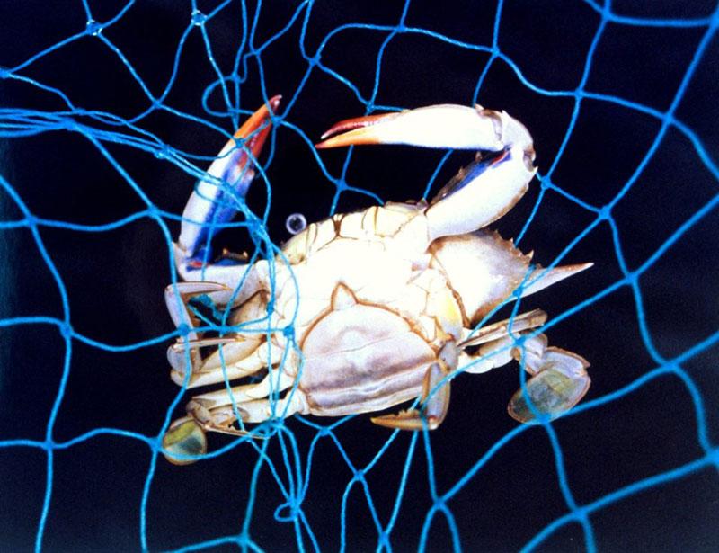 female blue crab underside