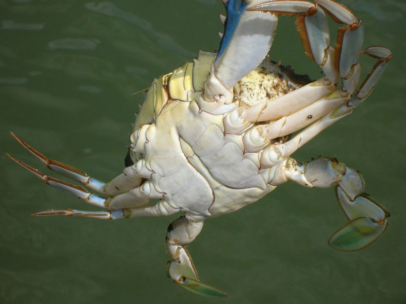 Underside of male blue crab.