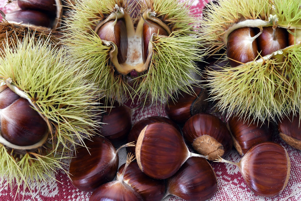 True chestnuts, showing finer spikes on burr