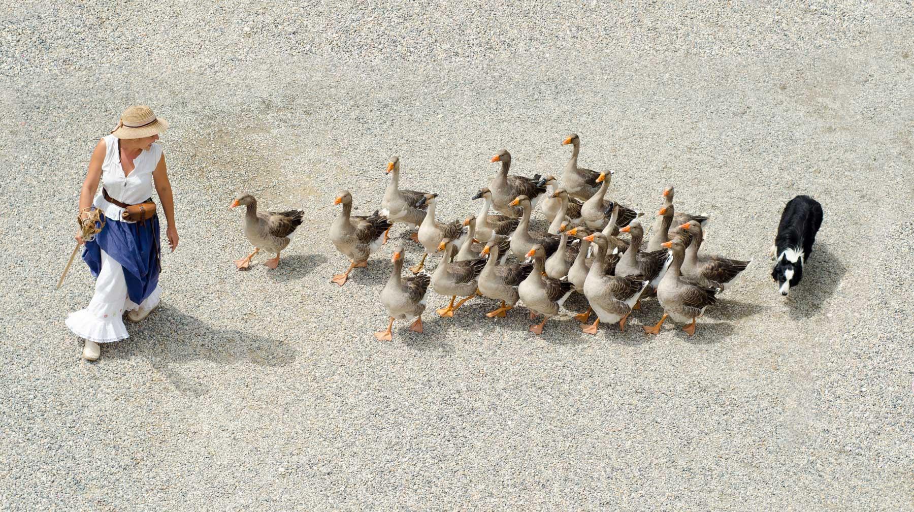 Goose herding