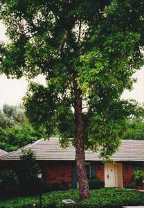 Original Hass Hass Avocado tree