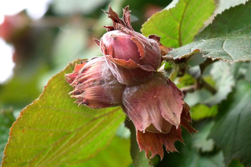 Hazelnuts nearly ripe