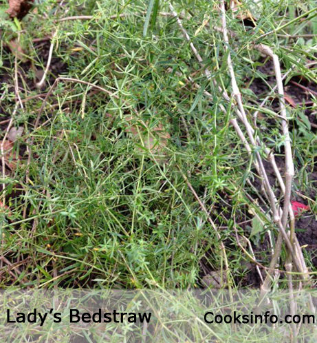 Lady's Bedstraw