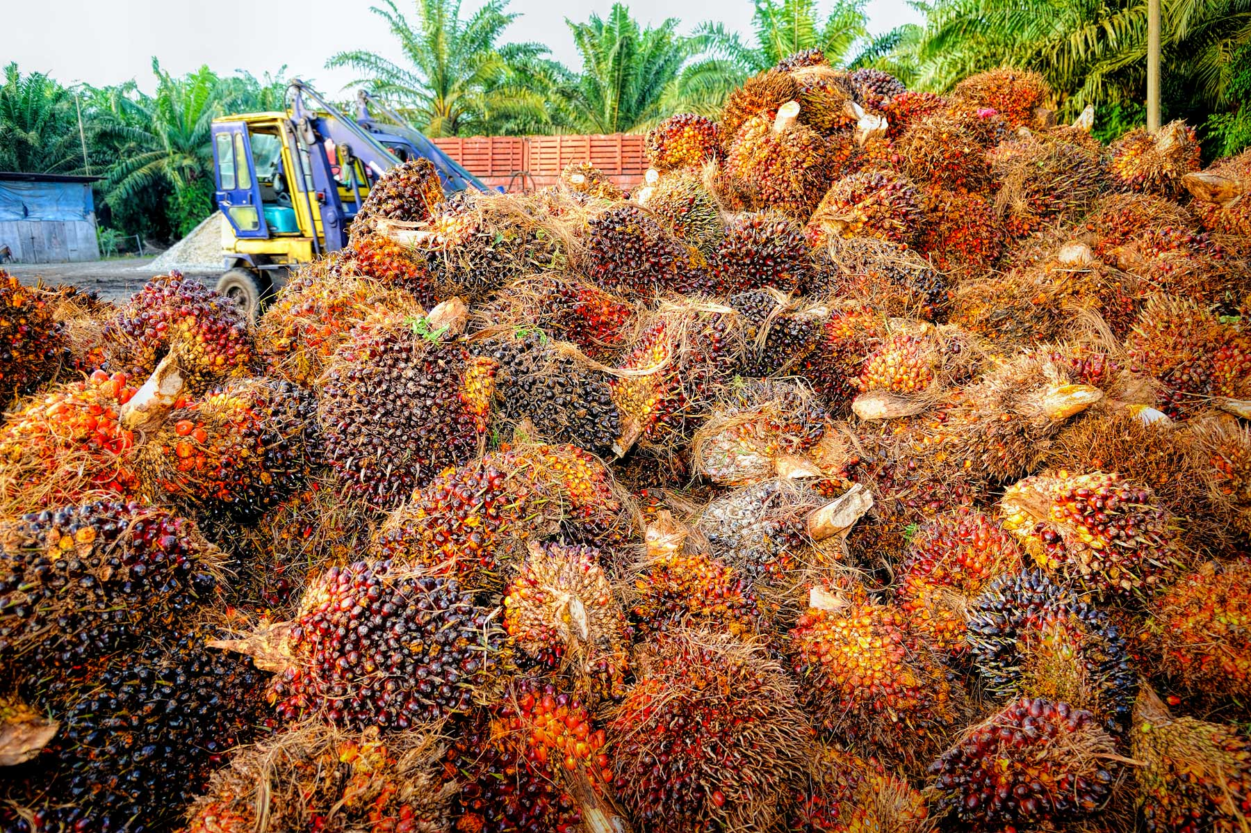 Harvested palm fruit bunches