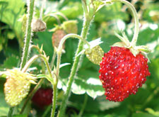 Ripened Strawberry