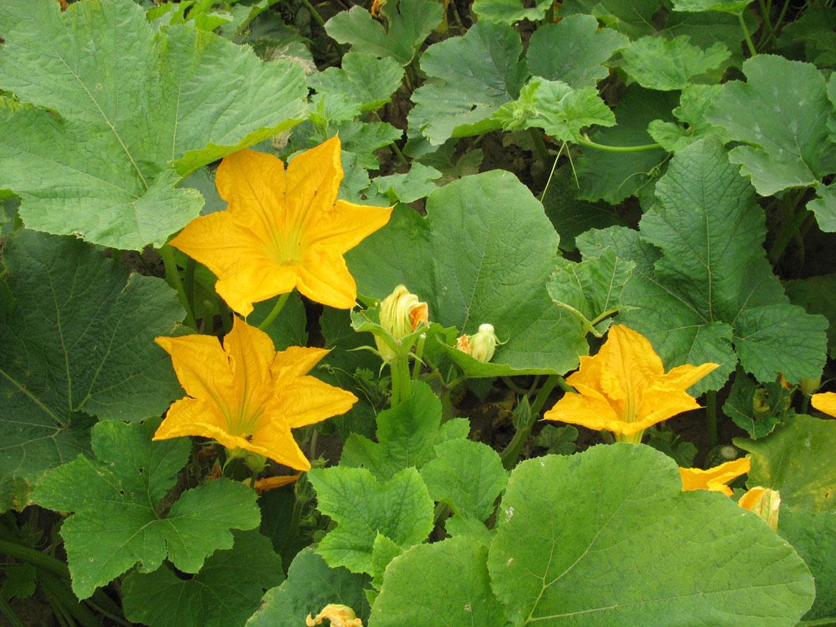 Stryian pumpkin blossoms