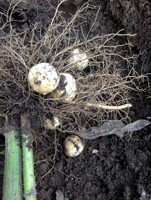 Sunchoke Harvest