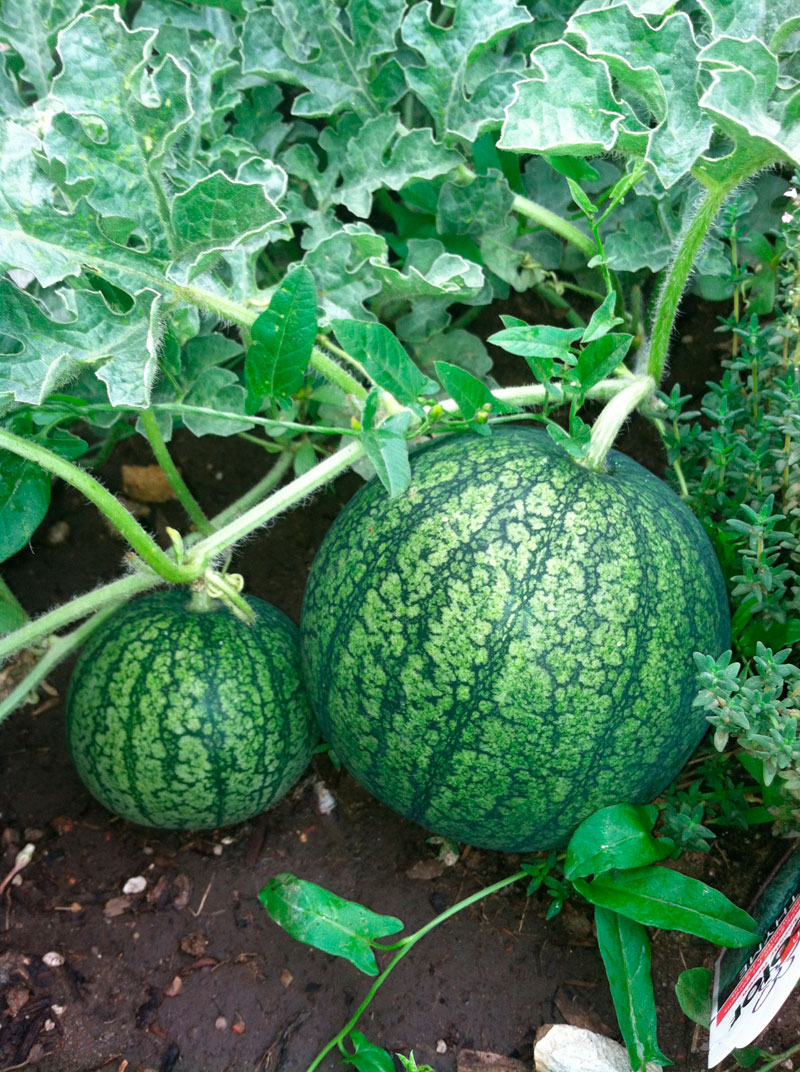 Watermelons on the vine